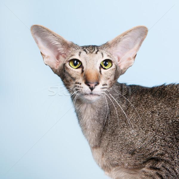 Studio portret zegel siamese kat geïsoleerd Blauw Stockfoto © ivonnewierink