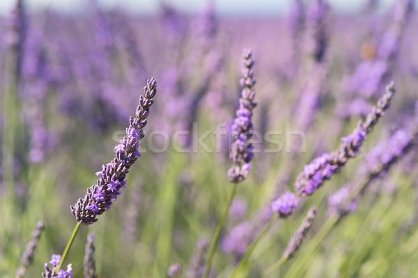ラベンダー畑 フランス フランス語 ラベンダー畑 南 雲 ストックフォト © ivonnewierink