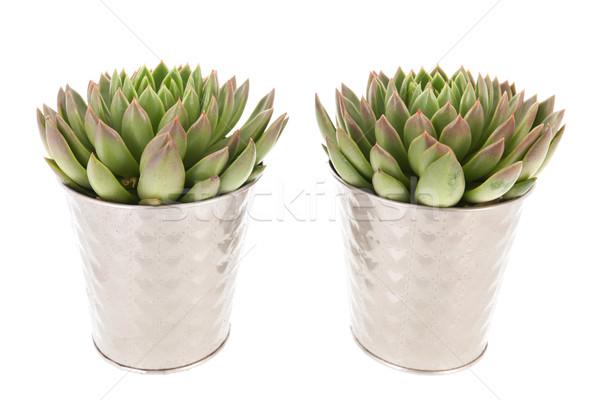 Succulente impianti pot argento interni fiore Foto d'archivio © ivonnewierink