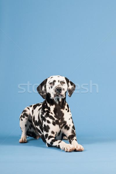 Dalmata kutya kék merő fajta fektet Stock fotó © ivonnewierink