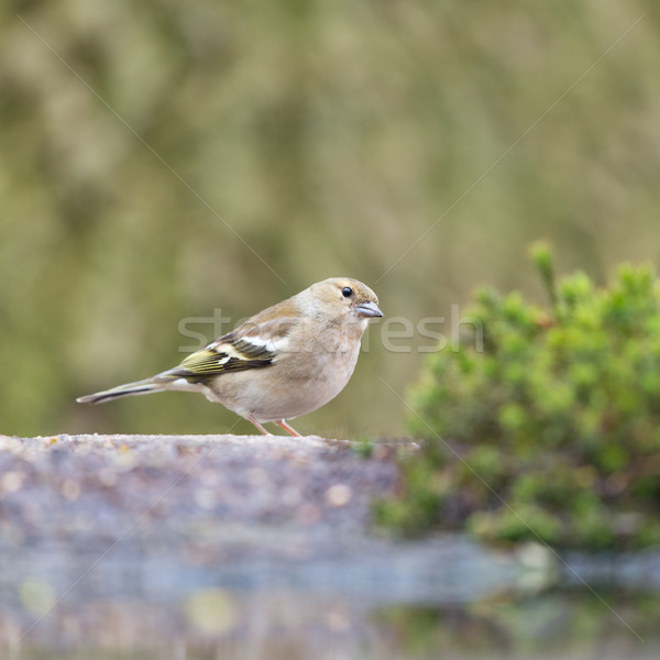 Female common chaffinch Stock photo © ivonnewierink