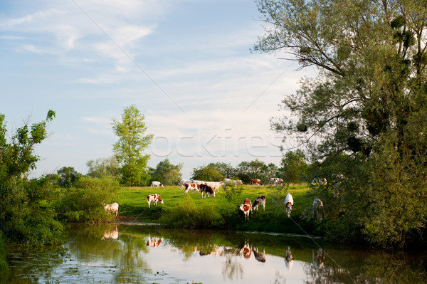 White cows in French Bourgogne Stock photo © ivonnewierink