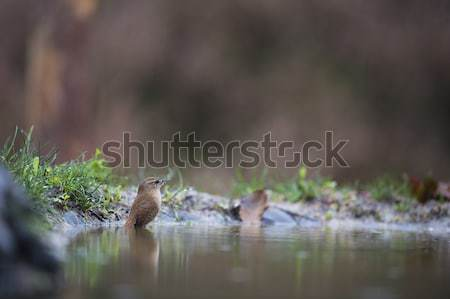 common chiffchaff Stock photo © ivonnewierink
