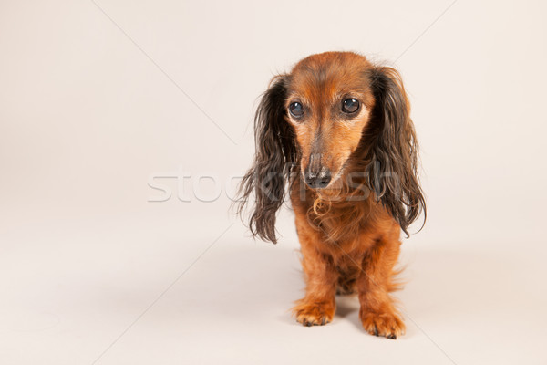 Teckel beige room huisdier bruin Stockfoto © ivonnewierink