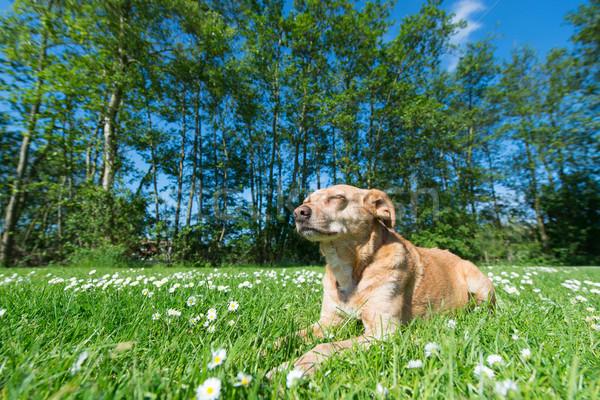 Dog in nature Stock photo © ivonnewierink
