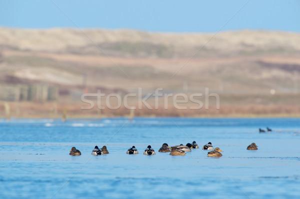 Ducks in lake at Texel Stock photo © ivonnewierink