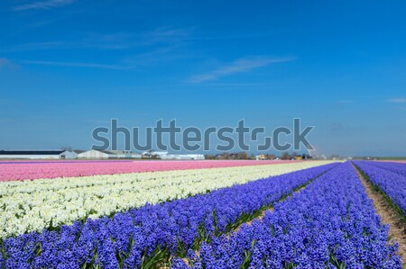 オランダ語 風景 花 カラフル 典型的な ヒヤシンス ストックフォト © ivonnewierink