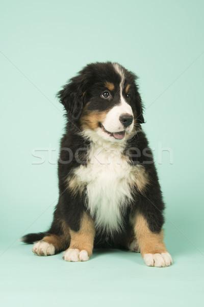 Berneński pies pasterski szczeniak zielone cute mały baby Zdjęcia stock © ivonnewierink