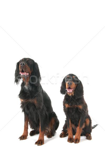 Sessão cães estúdio preto feminino branco Foto stock © ivonnewierink