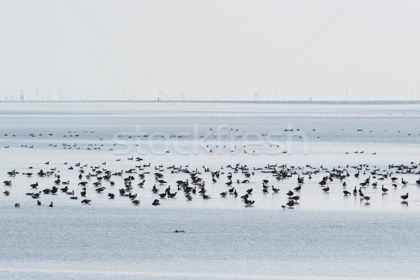 Brent gooses in wadden sea Stock photo © ivonnewierink