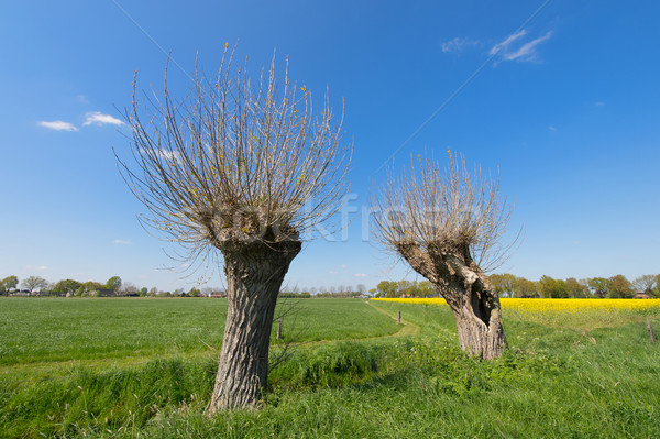 Típico holandés paisaje agrícola Holanda violación Foto stock © ivonnewierink