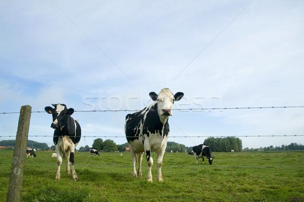 Vacche bianco nero panorama erba nero Foto d'archivio © ivonnewierink