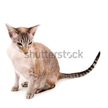 Sziámi macska fóka fajta macska izolált fehér Stock fotó © ivonnewierink