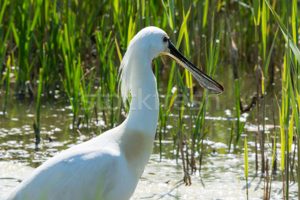 Eurasian spoonbill in nature lake Stock photo © ivonnewierink