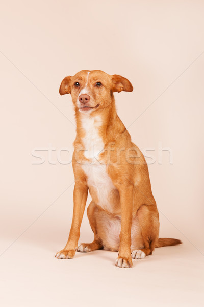 гончая испанский животного ПЭТ Сток-фото © ivonnewierink