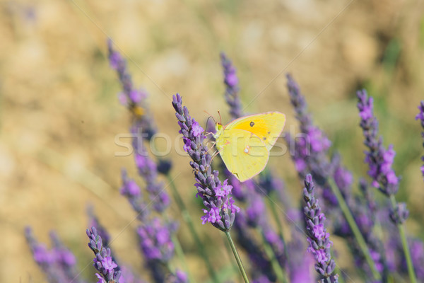 Stock photo: common brimstone butterfly on Lavender