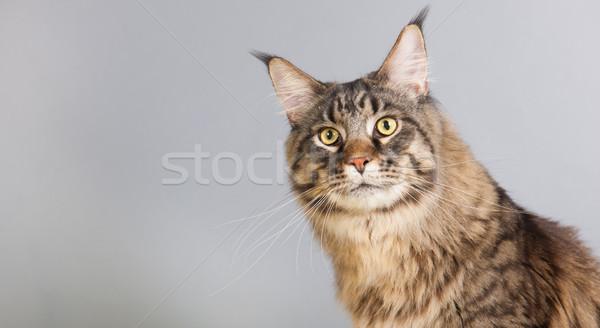 Maine kat grijs portret Stockfoto © ivonnewierink