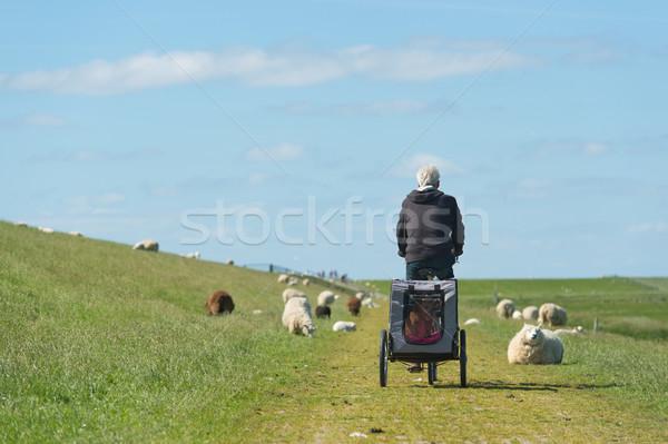Hombre moto holandés ovejas perro coche Foto stock © ivonnewierink