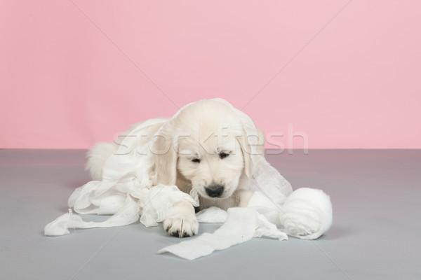 子犬 包帯 演奏 医療 小さな ストックフォト © ivonnewierink