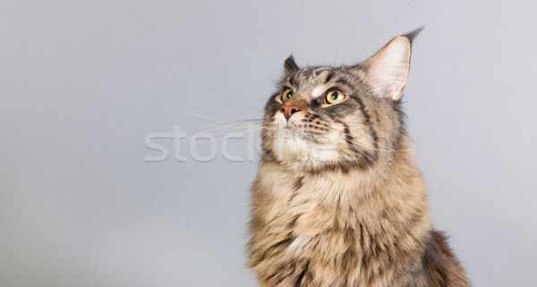 Maine coon cat on gray looking up Stock photo © ivonnewierink