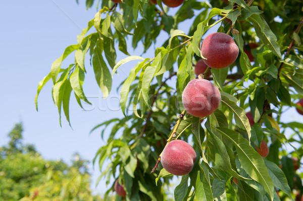 érett fa akasztás gyümölcs Stock fotó © ivonnewierink