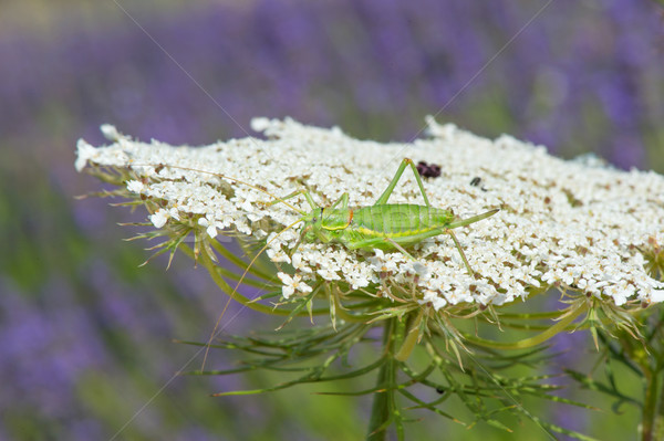Grasshopper on cow parsley Stock photo © ivonnewierink