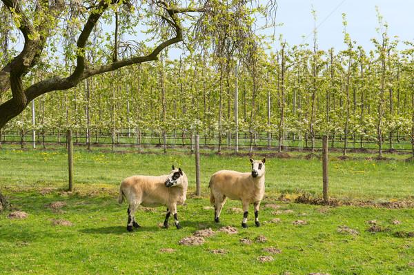 Ovelha primavera árvore frutífera paisagem fruto Foto stock © ivonnewierink