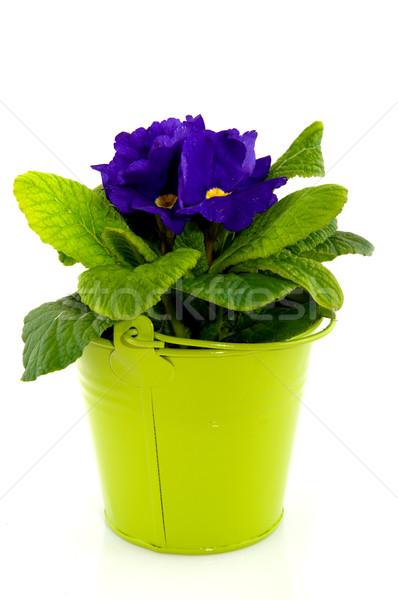 Blue Primula Stock photo © ivonnewierink