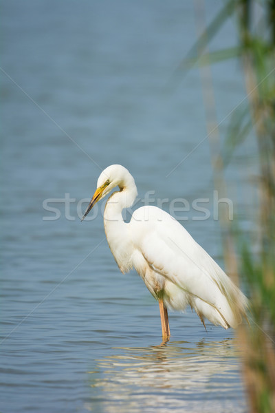 Great Egret Stock photo © ivonnewierink
