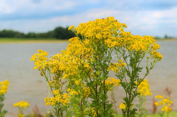 Yellow Jacobaea vulgaris Stock photo © ivonnewierink