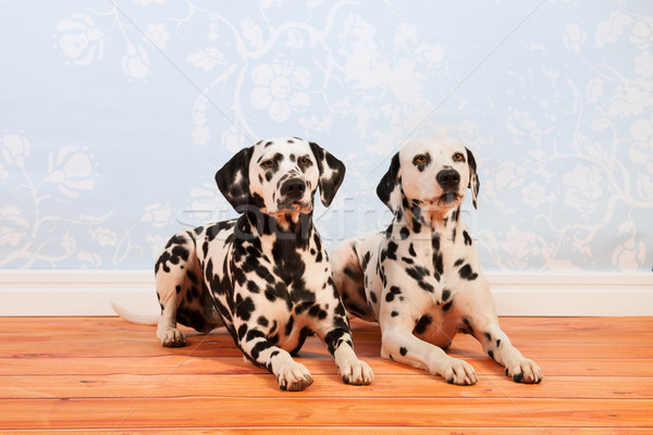 Dalmatian dogs laying at the floor Stock photo © ivonnewierink