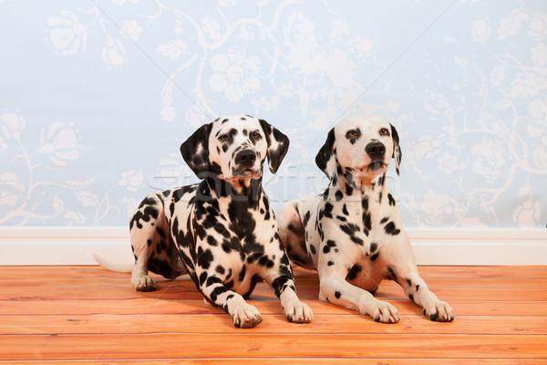 Dálmata cães piso Foto stock © ivonnewierink