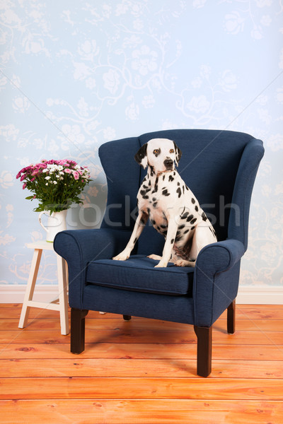 Dalmatian dog in living room Stock photo © ivonnewierink