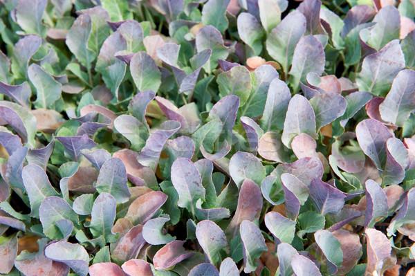 Fiatal karfiol növények sok természet zöldségek Stock fotó © ivonnewierink