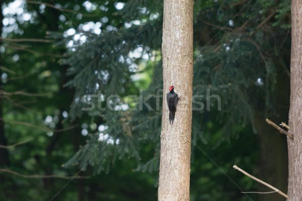 Male woodpecker Stock photo © ivonnewierink
