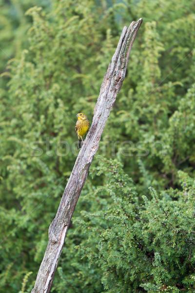 European yellowhammer in forest Stock photo © ivonnewierink