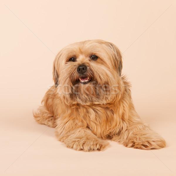 Kicsi hosszú hajú kutya bézs vegyes fajta Stock fotó © ivonnewierink