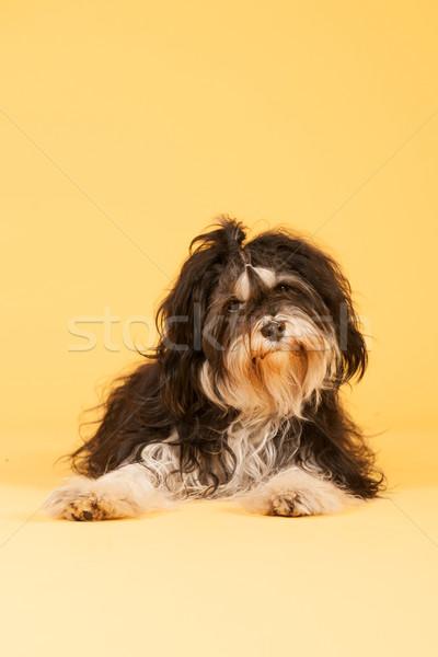 Tibetan Terrier on yellow background Stock photo © ivonnewierink
