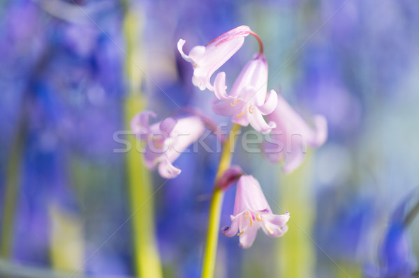 Wild hyacinths Stock photo © ivonnewierink
