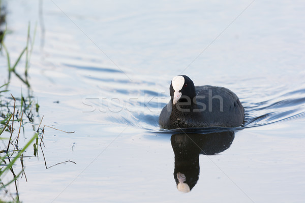 Eurasian coot in water Stock photo © ivonnewierink