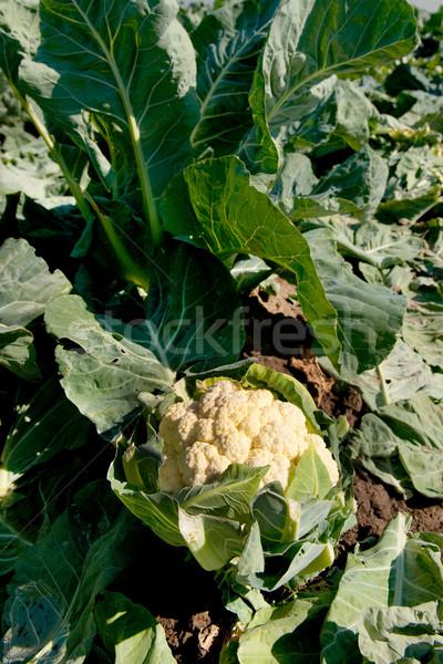 Karfiol mezők megművelt mezőgazdaság szabadtér étel Stock fotó © ivonnewierink