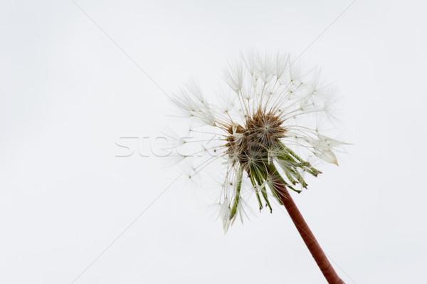 hawkbit in seed Stock photo © ivonnewierink