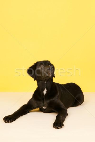 Kereszt fajta kutya felfelé néz citromsárga háttér Stock fotó © ivonnewierink