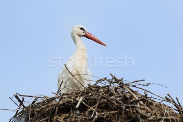 Weiß Storch Nest blau Stock foto © ivonnewierink