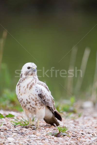 Urubu natureza animal Foto stock © ivonnewierink