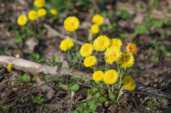 黄色 森林 地上 花 自然 日照 ストックフォト © ivonnewierink