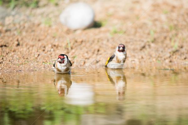 Fürdik európai kettő természet víz tó Stock fotó © ivonnewierink