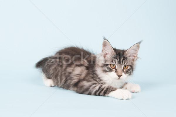 Maine coon kitten on blue Stock photo © ivonnewierink