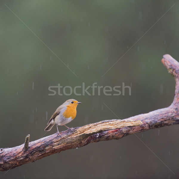 European Robin on branch Stock photo © ivonnewierink