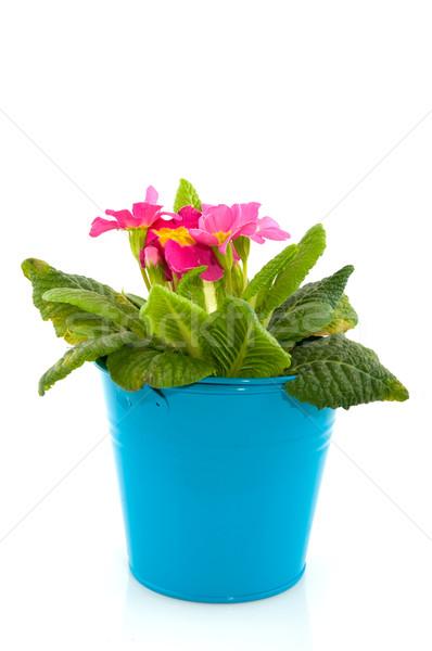 Pink Primula Stock photo © ivonnewierink